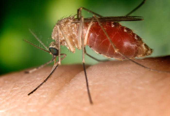 Mosquitoes: The Tiny Couriers of Infectious, Diseases-Causing Agents