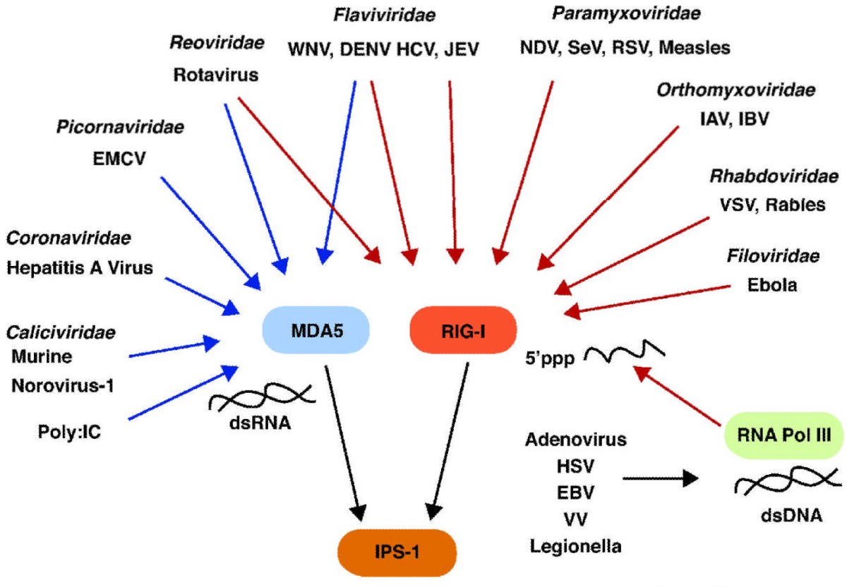Source: RIG-I Like Receptors and Their Signaling Crosstalk in the Regulation of Antiviral Immunity Image. Ramos and Gale, 2011