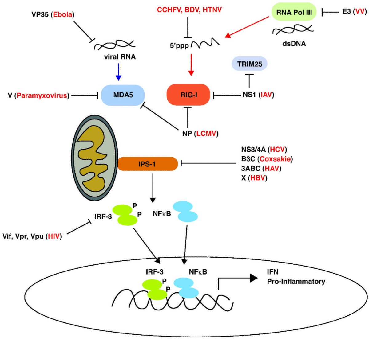 Source: RIG-I Like Receptors and Their Signaling Crosstalk in the Regulation of Antiviral Immunity. Ramos and Gale (2011).
