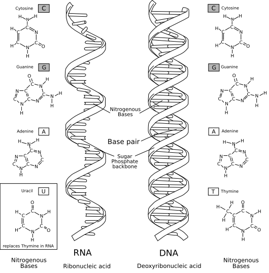 RNA-comparedto-DNA_thymineAndUracilCorrected